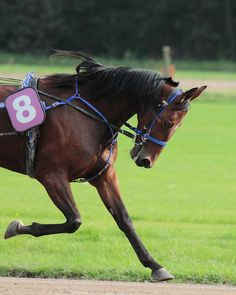 Standardbred - they race in two gaits, trotters and pacers. Trotters are as they say, moving alternate legs. Pacers usually wear hopples and move both legs on the same side. Pacing is a learned gait but one this breed adapts to quite well.