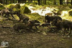 Wolven eten zwijn