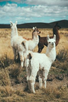 Andes little llamas