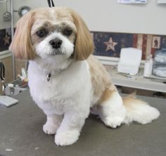Brilliant  For Haircuts For Shih Poo Dogs  Black Hairstyle And Haircuts