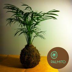 #Kokedama · Palmito