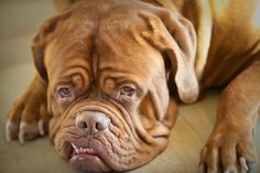 Okay, so I had to pin a Dogue de Bordeaux