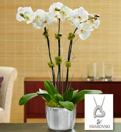 Silver Celebrations Orchids- White Phalaenopsis orchid plant arrives blooming with exotic foliage, jade-green moss and silver ting-ting curls accents in a metallic-silver ceramic container $89.99- $99.99 #orchids #jewelry