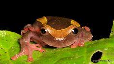 https://flic.kr/p/MHbFvc | Upper Amazon treefrog, Dendropsophus bifurcus | from Ecuador: www.flickr.com/andreaskay/albums