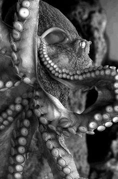 Giant Pacific Octopus The Effective Pictures We Offer You About Sealife pictures A quality picture can tell you many things. You can find the most beautiful pictures tha Underwater Creatures, Underwater Life, Underwater Animals, Beautiful Creatures, Animals Beautiful, Kraken, Sea World, Deep Sea, Deep Blue