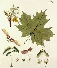 Hand coloured plate from Johann S Kerner's eighteenth century book 'Beschreibung und Abbildung der Bäume und Gestrauche'. This illustration is one of 71 plates and depicts the leaves, flowers, seeds and sapling growth of Acer platanoides (Norway maple). Vintage Botanical Prints, Botanical Drawings, Botanical Art, Nature Illustration, Botanical Illustration, Fall Leaves Tattoo, Nature Prints, Art Prints, Historia Natural
