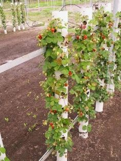 Growing strawberries vertically. Great Idea