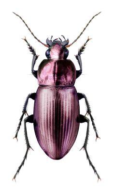 Poecilus lepidus                                                                                                                            More