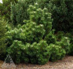 Pinus thunbergiana ' Thunderhead '.   Dwarf Japanese Black Pine. 'Thunderhead' develops a dense, billowy, cloud-like form that may mature to a form as wide as tall. (For back right corner of yard by bamboo) Kigi Nursery - Pinus thunbergiana ' Thunderhead '  Japanese Black Pine, $15.00 (http://www.kiginursery.com/dwarf-miniatures/pinus-thunbergiana-thunderhead-japanese-black-pine/)