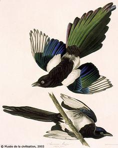 Black-billed Magpie by John Hames Audubon: stunning colors