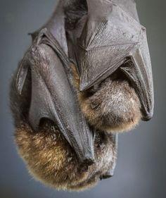 Sleeping mom and baby flying fox bats