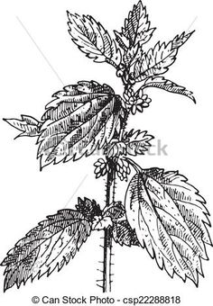 Stock Vector - Stinging nettle or Nettle or common nettle or Urtica dioica, vintage engraved illustration. Engraving Illustration, Body Art, Stock Photos, Image, Google Search, Tattoos, Tatuajes, Tattoo, Body Mods