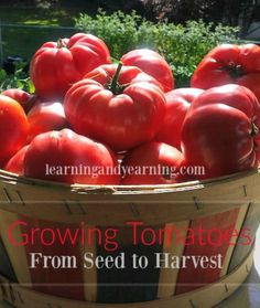 Visit any vegetable garden and you'll be sure to find a patch of tomato plants. They are a favorite for just about everyone. Even those who don't like fresh tomatoes will want to learn more about growing tomatoes for sauce. Tomatoes are available in a seemingly endless amount of varieties. I love to try at least one new variety each year.