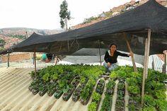 Proyecto de techo verde en Colombia. Se usan botellas de pet de 3 litros regadas con agua de lluvia y acomodadas en techos acanalados de lámina para cultivar hortalizas.
