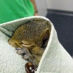 PBS baby squirrel