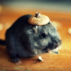Refrigerator Magnet Rectangle Gerbil in A Hat Acorn Cap on Etsy, 2,27 €