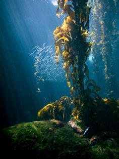 Kelp forest (United States) Found in nature and aquariums alike (this photo was taken in the Monterey Bay Aquarium), kelp forests are underwater high-density areas of kelp. The ecosystem of a kelp forest is complex, with different types of kelp living in each canopy. Many people theorize that the Americas were originally colonized by fishing communities who followed the movement of Pacific kelp forests. Photo: Ryan Carver  --  15 awe-inspiring forests around the world - Matador Network