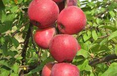 : Колонновидная яблоня