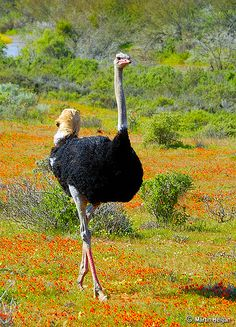 Ostrich (Struthio camelus) walks though fields of wild flowers in Namaqualand (Garies and Hondeklipbaai), Northern Cape, South Africa