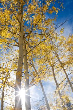 Google Image Result for http://sp.life123.com/bm.pix/aspen-tree.s600x600.jpg