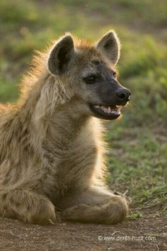 hyena by Christine and Michel Denis Huot Animals Of The World, Animals And Pets, Baby Animals, Cute Animals, Brown Hyena, Striped Hyena, Photo Animaliere, African Wild Dog, Wild Creatures