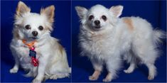 Sweet Chi/Pom sisters whose person passed away. They are a pair who'd bring 5-lbs of love #BayArea #SeniorDogAdoption