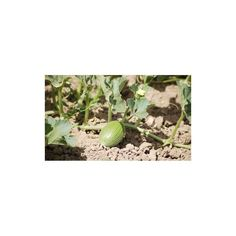 How to grow melons  0,00€   How to grow melons The succulent flavor of vine-ripened melons is worth the special effort it takes to grow them. Homegrown melons outshine those from the grocery store because melons pack up on sugar during their final days of growth—commercial melons just can't compete because they're picked a