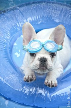 When You Adopted Me, You Promised Me a Pool.......Where's My Pool?  A Losing His Patience French Bulldog Puppy.