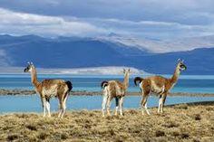 Guanaco, Patagonia