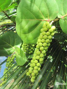 Sea Side Grapes seen in abundance along the Corozal Bay in Belize C.A.