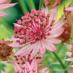 Astrantia major 'Pink Pride' - Cottage Garden Plants - Van Meuwen