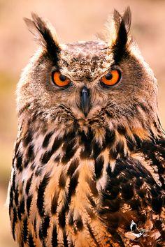 Eurasian Eagle Owl, Bubo bubo    by ~eaross