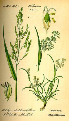 Flora von Deutschland Österreich und der Schweiz (1885) - Leersia oryzoides