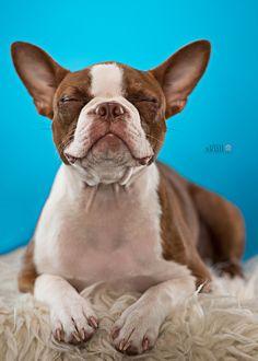 Boston Terrier contentment