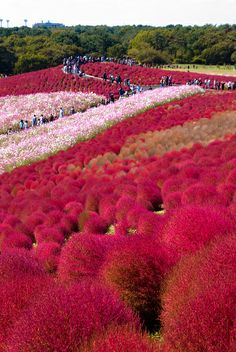 Hitachi Seaside Park, Japan This park features blooming flowers of daffodils and tulips with blue flowers. It is located in Hitachinaka Ibaraki, and it hosts the Rock in Japan festival. Beautiful Places In Japan, Beautiful World, Places To Travel, Places To See, Hitachi Seaside Park, Foto Transfer, In China, Japan Travel, Amazing Gardens