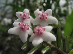 Extremely Rare Orchids | Hoya Engleriana Very RARE Fragrant Cloud Forest Species Orchid   Interesting shape