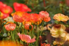 Poppies are incredibly pretty and are a wonderful addition to your garden.