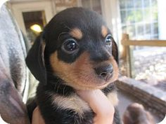 Verona, NJ - Chihuahua/Dachshund Mix. Meet Gracie, a puppy for adoption. http://www.adoptapet.com/pet/11254472-verona-new-jersey-chihuahua-mix