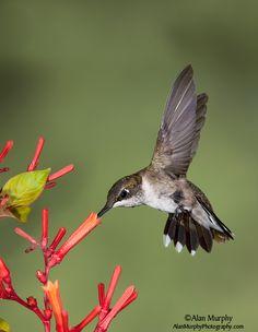 ruby throated hummingbird photographs | Ruby-throated Hummingbird 69 - Harris Co, TX - Aug