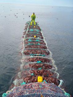 Walking on bag of Rock fish Sport Fishing, Fishing Boats, Alaska Fishing, Natural Resources, Real Man, Mother Earth, Evolution, Knots, Seafood