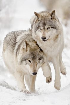 Wolves by Maxime Riendeau