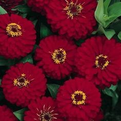 Dreamland Red Zinnia plants heavy with large double flowers.