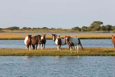 Assateague Island, VA  ~ Home of the Chincoteague ponies.  The island is a peaceful, windswept sanctuary to many species of wildlife, none more famous than the wild pony population. According to legend, these shaggy, sturdy animals survived the shipwreck of a Spanish galleon in the 1600s and then swam ashore to Assateague.  One of my favorite vacation destinations!!