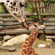 Baby Giraffe Gets a Super-Sized Smooch at Zoo Budapest (ZooBorns) Cute Baby Animals, Animals And Pets, Funny Animals, Wild Animals, Giraffe Pictures, Animal Pictures, Beautiful Creatures, Animals Beautiful, Cute Giraffe