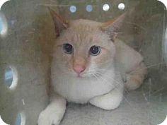 3/1/17 URGENT! Tallahassee, FL - Siamese. Meet PHEONIX-BARN, a cat for adoption. Tallahassee-Leon Community Animal Service Center Pet ID #: 11066537-A167739 Phone: (850) 891-2950  http://www.adoptapet.com/pet/17559368-tallahassee-florida-cat