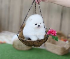 Teacup Pomeranian, Teacup Puppies, Pomeranian Puppy, Toy Dogs, Dog Toys, Animals And Pets, Cute Animals, Pomeranians, Cute Dogs And Puppies