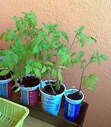 Sadime paradajky, foto: FLORA.sk
