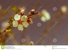 Closeup Of Beautiful Vintage Sakura Tree Flowers (cherry Blossom) In Spring Stock Image - Image of natural, focus: 90224837 Spring Time, Cherry Blossom, Close Up, Dandelion, Stock Photos, Natural, Flowers, Plants, Image
