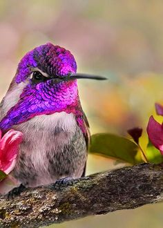 A Brilliant Peace .. Costa's Hummingbird
