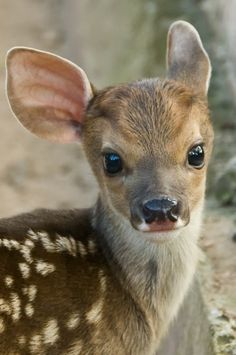 Sweet wee fawn...how comely, the large eyes and large ears and dabbled with spots.